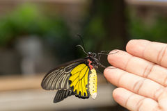 Common Golden Bird-wing butterfly on hand Stock Photo