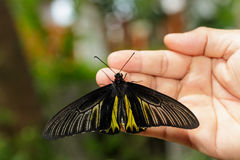 Common Golden Bird-wing butterfly hanging on hand Royalty Free Stock Photo