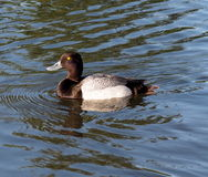 Common Golden Eye Duck Royalty Free Stock Photo