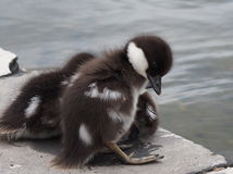 Common Golden Eye Ducklings Royalty Free Stock Photo