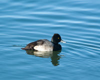 Common Goldeneye. A duck,  Common Goldeneye swimming in a lake Stock Images