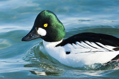 Common Goldeneye Stock Photos