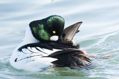 Common Goldeneye Royalty Free Stock Images