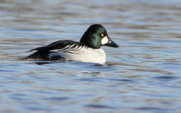 Common Goldeneye Royalty Free Stock Photo