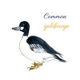 Common goldeneye bird. Bucephala clangula is sea duck. Watercolor illustration Stock Photos