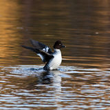 Common Goldeneye, Bucephala clangula Stock Image
