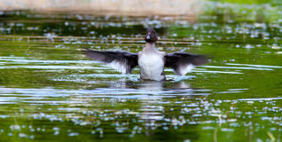 Common Goldeneye, Bucephala clangula Stock Photography