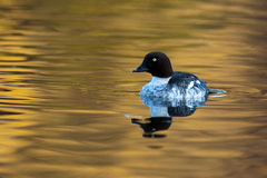Common Goldeneye, Bucephala clangula Stock Images