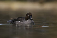Common Goldeneye , Bucephala clangula Royalty Free Stock Photography
