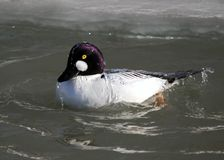 Common Goldeneye (Bucephala clangula) Stock Photos