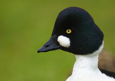 Common Goldeneye (Bucephala clangula) Stock Photography