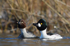 Common Goldeneye. Bucephala clangula. Royalty Free Stock Images