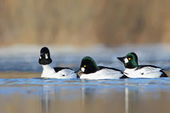 Common Goldeneye. Bucephala clangula. Stock Images
