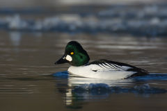 Common Goldeneye. Bucephala clangula. Royalty Free Stock Photography