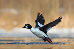 Common Goldeneye. Bucephala clangula. Stock Photography