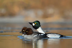 Common Goldeneye. Bucephala clangula. Royalty Free Stock Image