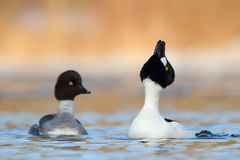 Common Goldeneye. Bucephala clangula. Royalty Free Stock Photos