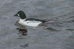 Common Goldeneye (Bucephala clangula) Royalty Free Stock Images