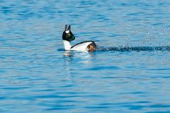 Common Goldeneye - Bucephala clangula. A male Common Goldeneye is swimming in the open water performing a courtship ritual. Tommy Thompson Park, Toronto, Ontario royalty free stock images