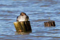 Common goldeneye. (Bucephala clangula) resting on a post with water as background Royalty Free Stock Image
