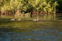 Common Goldeneye with Chicks Royalty Free Stock Photo