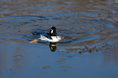 Common Goldeneye Drake Royalty Free Stock Photo
