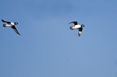Common Goldeneye Ducks Flying in a Blue Sky Stock Photography