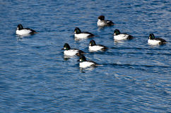 Common Goldeneye Ducks Swimming on the Water Royalty Free Stock Photography