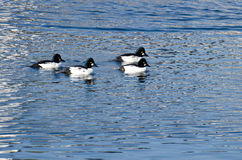 Common Goldeneye Ducks Swimming on the Water Royalty Free Stock Photo
