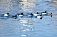 Common Goldeneye Ducks Swimming on the Water Stock Photos