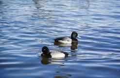 Common Goldeneye Ducks Stock Photography