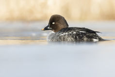 Common Goldeneye. Early Common Goldeneye resting in a icy lake Royalty Free Stock Photo