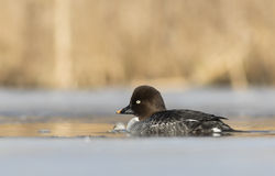 Common Goldeneye. Early Common Goldeneye swimming in a icy lake Stock Image