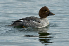Common Goldeneye Stock Image
