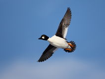 Common Goldeneye in flight with a blue sky background. A Common Goldeneye flies over a wetland in Northern Idaho Stock Photo