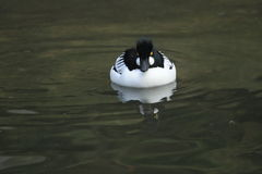 Common goldeneye Stock Images