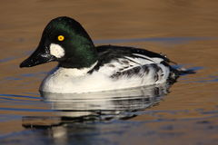 Common Goldeneye on golden water. A Common Goldeneye swimming on golden water in North Idaho Stock Image