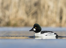 Common Goldeneye. Hanging out in a icy lake Stock Photo