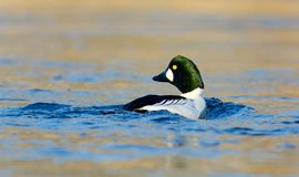 Common goldeneye on a lake in , Sweden stock photos