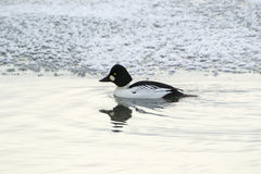 Common Goldeneye Royalty Free Stock Image