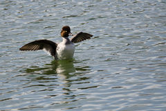 Common Goldeneye Stretching Its Wings on the Water Royalty Free Stock Photos