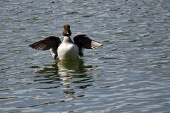 Common Goldeneye Stretching Its Wings on the Water Royalty Free Stock Photography