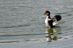Common Goldeneye Stretching Its Wings on the Water Royalty Free Stock Photo