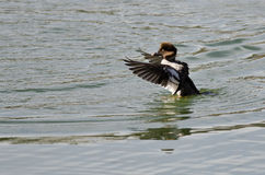 Common Goldeneye Stretching Its Wings on the Water Royalty Free Stock Images