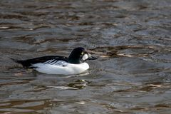 A common goldeneye swims in the pond royalty free stock images