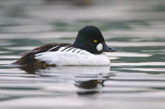 Common Goldeneye Royalty Free Stock Photos