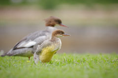 Common goosander chick Stock Photo