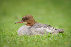 Common goosander Stock Image