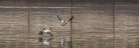 Common Goosander in flight Royalty Free Stock Photos