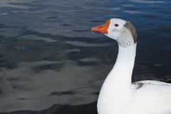 Common Goose Royalty Free Stock Photography